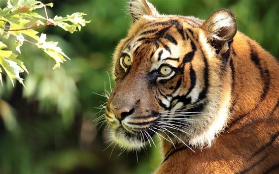 Wallpaper Sumatran tiger, predator, portrait