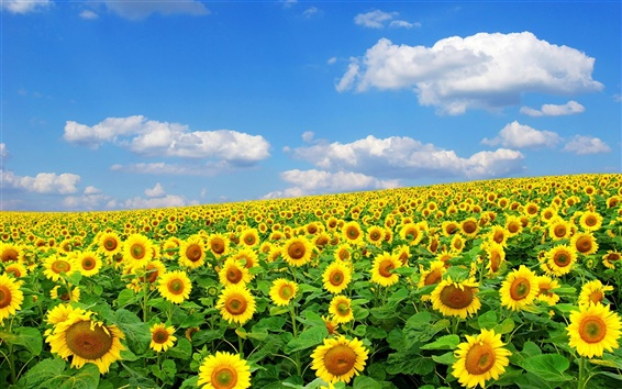 Wallpaper Sunflowers, summer, sky, clouds