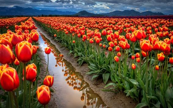 Обои Поле тюльпаны, оранжевые цветы, небо, облака, горы, вода, канава