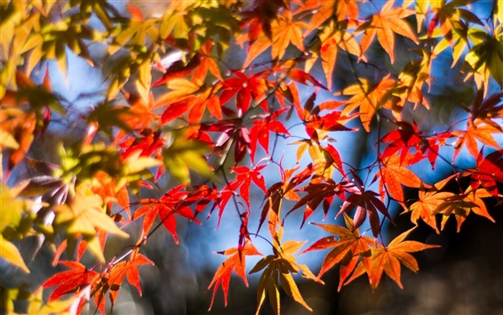 Wallpaper Twigs, red leaves, maple, autumn, sunshine