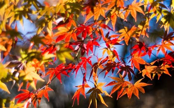 Papéis de Parede Galhos, folhas vermelhas, maple, outono, sol
