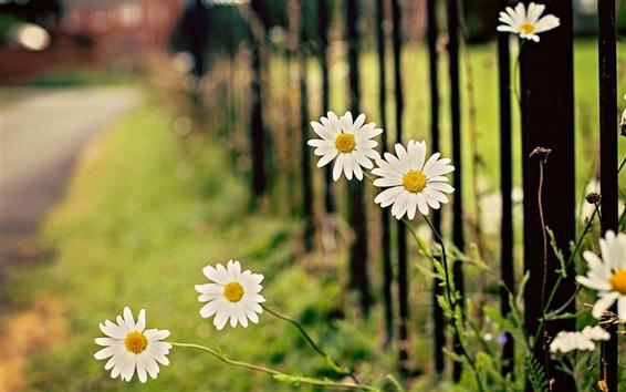 Fond d'écran Blanc fleurs de camomille, marguerite, clôture, bokeh