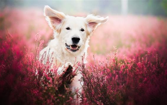Wallpaper White dog, face, lavender, flowers