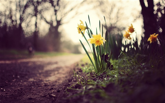 Wallpaper Yellow daffodils, flowers, grass, ground, path