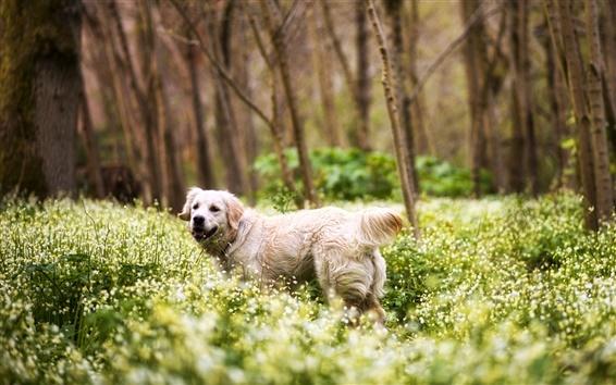 Обои Симпатичные ретривер, лес, трава, цветы