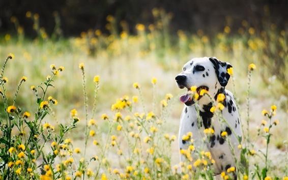 Fond d'écran Dalmatiens, chien, fleurs sauvages