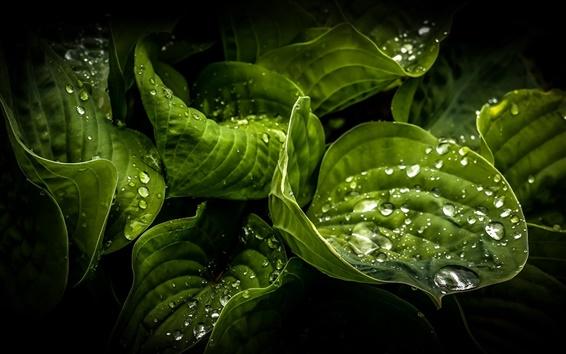 Обои Зеленые листья крупным планом, капли воды, роса