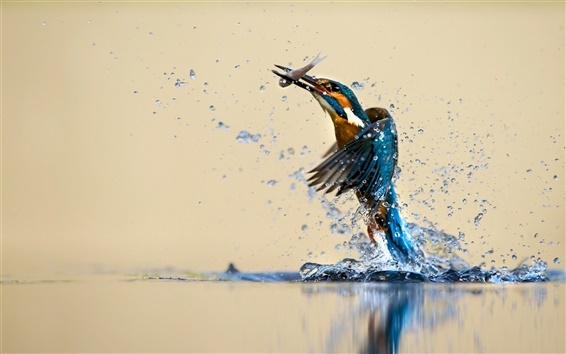 Обои Kingfisher красивый танец, вода, брызги, ловить рыбу