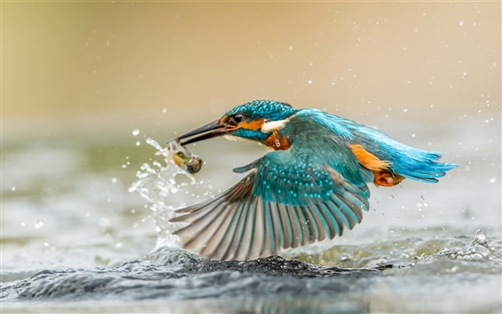 Wallpaper Kingfisher catching fish, wings, water splashes, drops