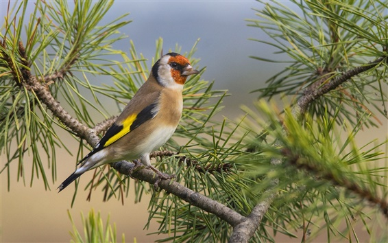 Papéis de Parede Pássaro só, penas, cauda, pinheiro, galhos