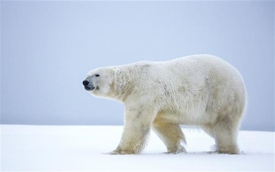 Wallpaper Lonely polar bear, walk in the snow, Alaska, winter