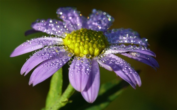 Wallpaper Lonely purple flower, petals, dew