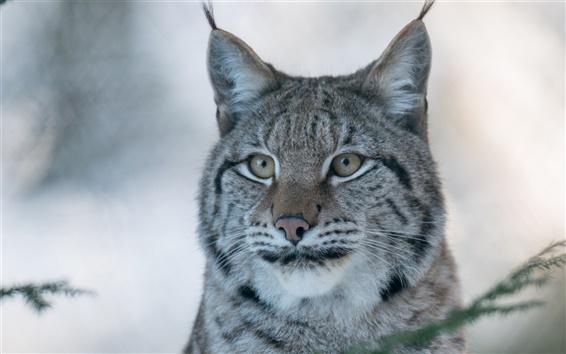 Wallpaper Lynx, wild cat, predator