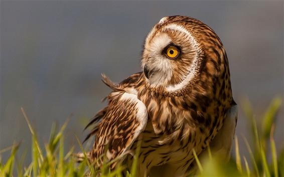 Wallpaper Marsh, owl, bird, grass