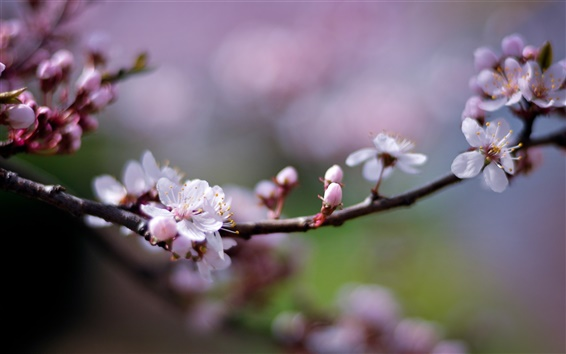 Wallpaper Pink cherry flowers, petals, blurry, spring