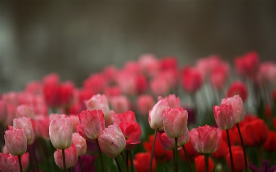 Wallpaper Pink flowers, tulips, blur background