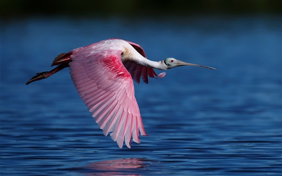 Wallpaper Roseate spoonbill flying, bird, wings, water