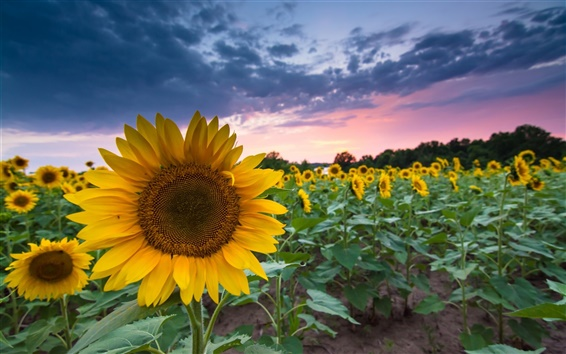Wallpaper Sunflowers, summer, dusk, sunset, clouds
