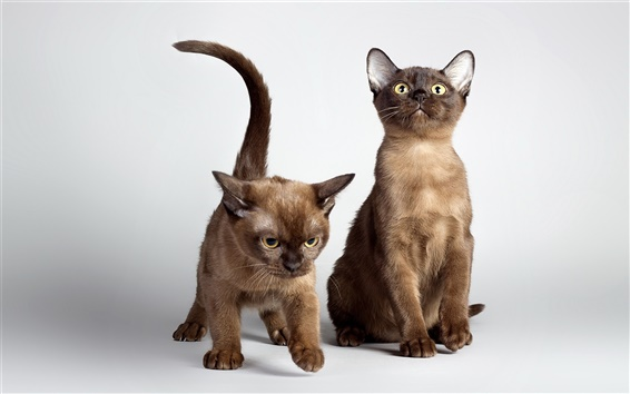 배경 화면 두 귀여운 고양이, 노란 눈