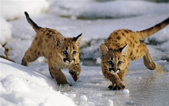 Wallpaper Uinta National Forest, Utah, USA, mountain lion cubs, winter, snow