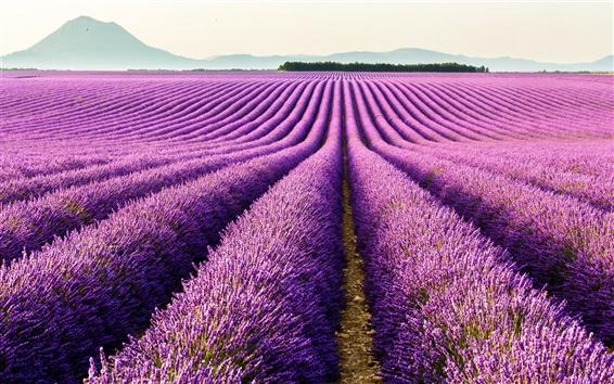 Papéis de Parede Valensole, Provence, França, flores roxas, campo de lavanda