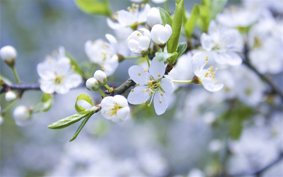 Papéis de Parede Flores brancas da maçã, pétalas, galhos