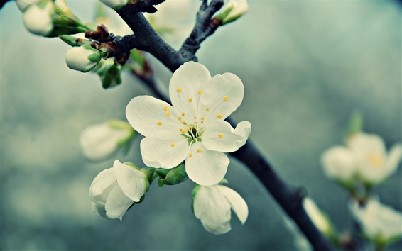 Papéis de Parede flores de cerejeira brancas, primavera, pétalas