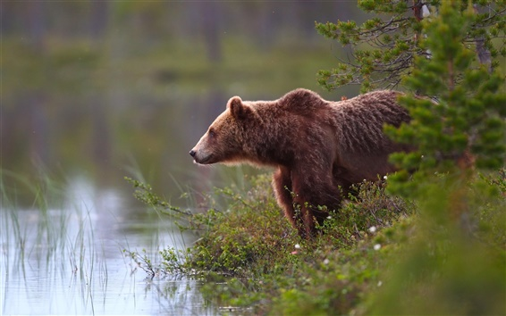 Обои Бурый медведь, вода, на берегу озера, трава