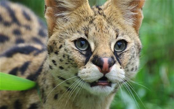 Papéis de Parede serval bonito, gato selvagem, cara, olhos