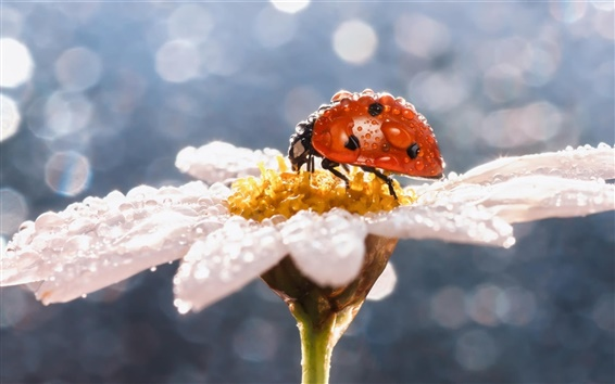 Wallpaper Daisy flower, insect, ladybug, water drops