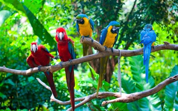 Обои Пять попугаев, ветви, птицы крупным планом