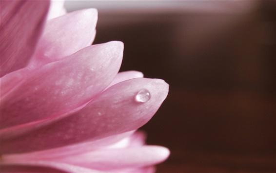 Papéis de Parede Flor macro, pétalas de rosa, orvalho
