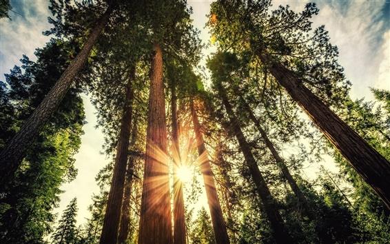 Fond d'écran Forest, de grands arbres, la lumière du soleil, l'éblouissement