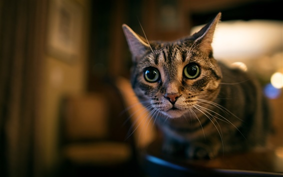 Wallpaper Green eyes cat, face, look, bokeh
