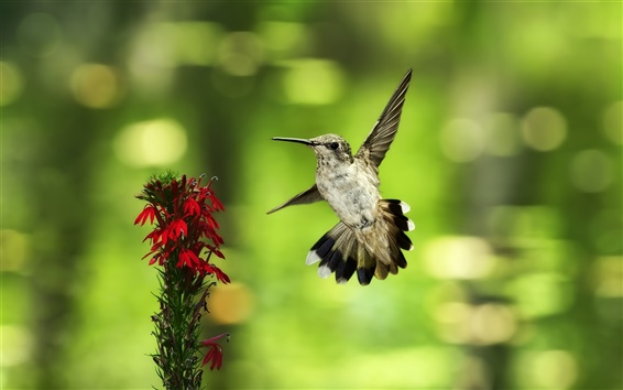 Wallpaper Hummingbird flying, red flowers, green background