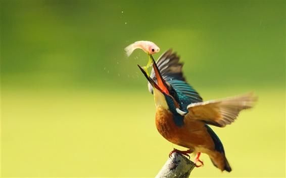 Fond d'écran kingfisher de manger du poisson, les ailes, le flou