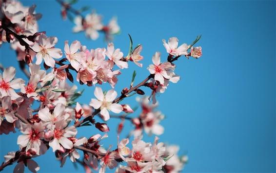 Wallpaper Pink cherry flowers bloom, petals, twigs, spring