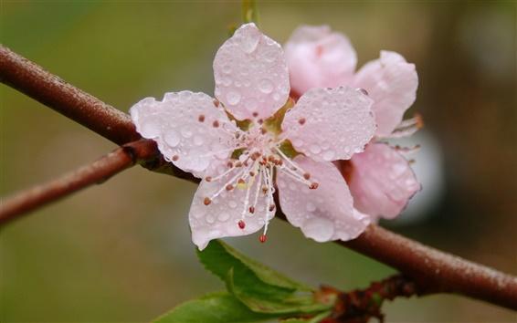 Wallpaper Pink flower blossom, petals, dew, spring