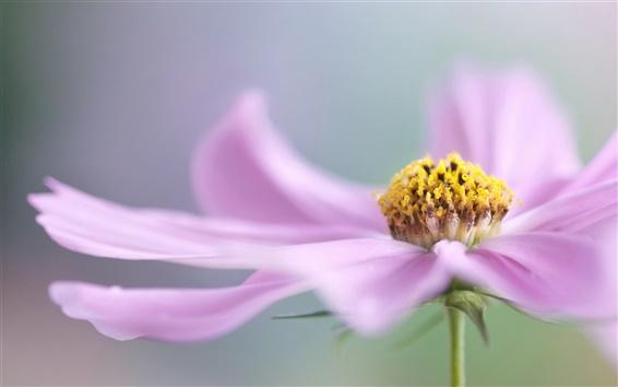 Fond d'écran Fleur rose macro photographie, pétales