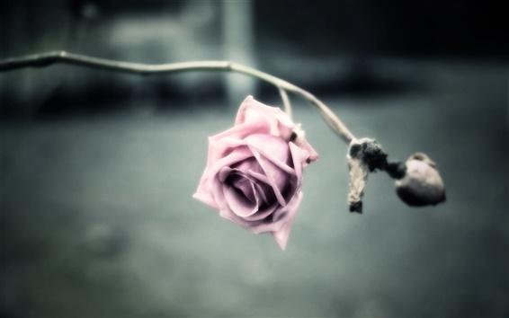 Wallpaper Pink flower, rose, petals, blur background