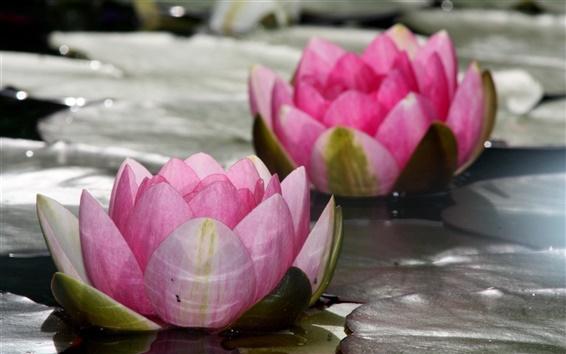 Обои Розовые цветы, лотос, водяная лилия, озеро