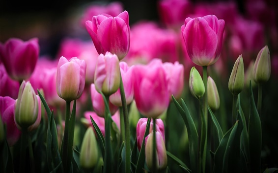 Обои Розовые тюльпаны, цветы, почки, листья, смазанные