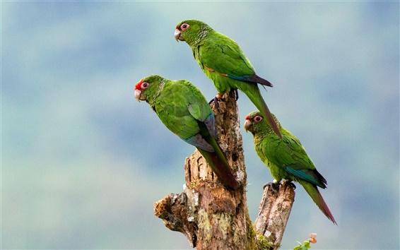 Wallpaper Three green parrots, birds close-up, stump