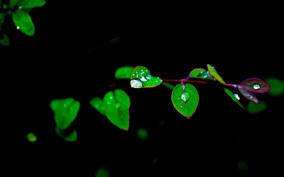 Fondos de pantalla Ramitas, hojas de color verde, el rocío, el fondo negro