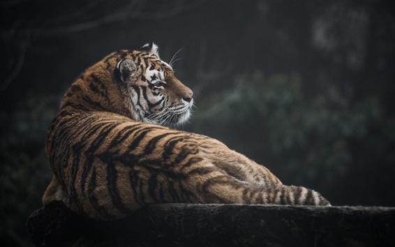 Papéis de Parede gato selvagem, tigre, predador, olhar para trás