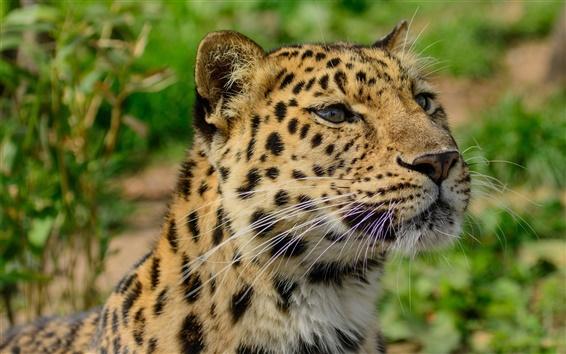 Wallpaper Amur leopard close-up, wild cat, predator