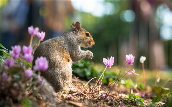 Wallpaper Animal close-up, squirrel in summer, flowers