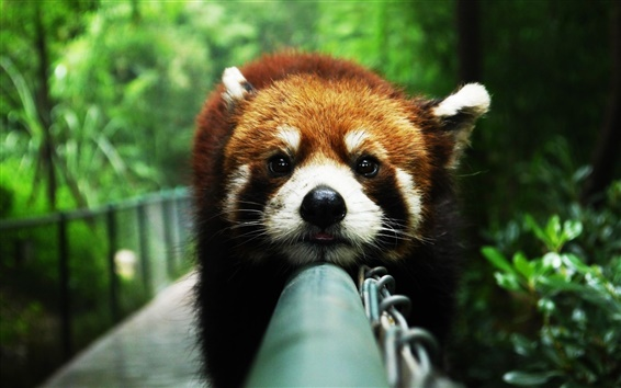 Wallpaper Animals close-up, red panda, rest, face, fence