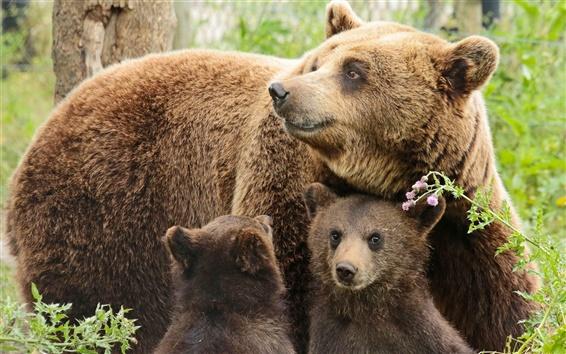 Обои Несет семьи, матери, двух медвежат