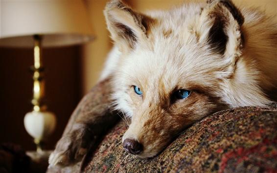 Papéis de Parede olhos azuis raposa, olhar, orelhas